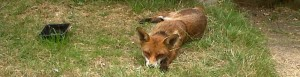 Flashback to lazier summer days for the local female Fox.