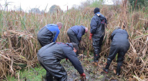 A previous Reedmace-pulling session at Thames Road Wetland