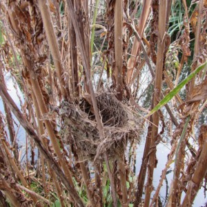 Reed Warbler nest (Photo: Wren Rose)