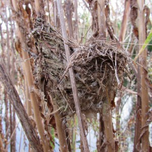 Side view of Reed Warbler nest on Great Willowherb (Photo: Wren Rose)