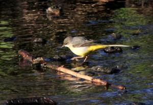 Grey Wagtail (Photo: Ralph Todd)