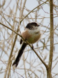 Long-tailed Tit (photo: Donna Zimmer)