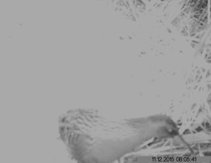 This picture of Water Rail activity after dark has been obtained by Wren Rose using a Trail camera. Looks like we forgot to set the time stamp properly though .....