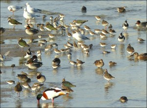 Teal, Dunlin, Lapwing and Shelduck are amongst the birds seen on the foreshore (Mike Robinson)