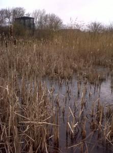 Snipe foraging habitat at Thames Road Wetland in winter. (Photo: Chris Rose)