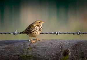 Meadow Pipit (Richard Winston)