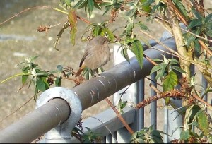 Black Redstart hanging around beside the Thames in the Erith area off Corinthian Manorway (Photo: Mike Robinson)
