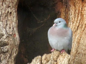 Stock Dove photographed in Danson Park by Donna Zimmer.