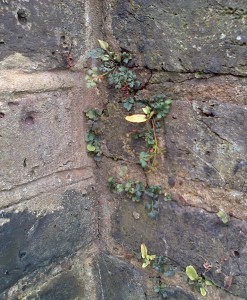 Wall-rue on the wall of a church hall over the road from St Paulinus, Crayford. The pale green, entire leaves are Hart's-tongue Ferns, though it is probably too dry here for this large fern to get much bigger than it is in this picture.  (Photo: Chris Rose)