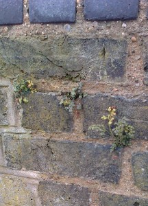 More Wall-rue plants at the same location. (Photo: Chris Rose)