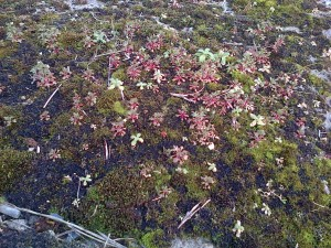 This Rue-leaved saxifrage colony in Crayford town centre on 12/3/16 is a new site record for a scarce London plant. (Photo: Chris Rose)