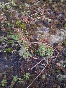 This closer view of Rue-leaved Saxifrage shows the tripartite lower leaves, hence the scientific name tridactylites. (Photo: Chris Rose)