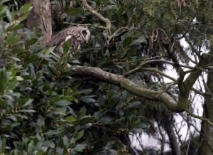 Short-eared Owl in Bexleyheath garden, March 26th. (Photo: Ralph Todd)