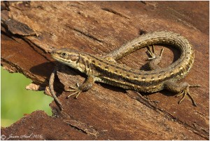 Common Lizard at Crayford Rough, April 2016. They may have been ommon once, but they are now in decline, a situation reinforced by a series of recent Bexley planning  decisions. The Council has not thought it relebvantdoes not think it necessary to consider the size of number sof populations in the Borough before voting to cover their homes in concrete. (Photo: Jason Steel)