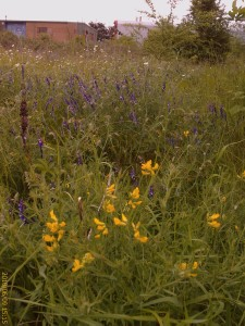 Crayford Rough. Part of the flower-rich area under threat. (Photo: Chris Rose)
