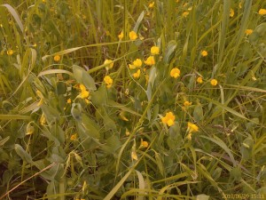 Yellow Vetchling (Lathyrus aphaca) is nationally scarce. Apart from a small population at Erith Marshes, it is confined to this open part of Crayford Rough, where te biggest population is found, with lesser amounts at  Braeburn Park and by a ditch the other side of the A2. (Photo: Chris Rose)