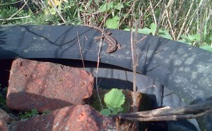 Adult Common Lizard basking on an old car  tyre, Thames Road Wetland, 30th March 2016. (Photo: Chris Rose)