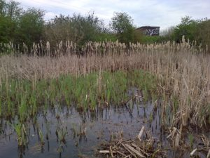 The lack of dead material in this shallow area indicates that Reedmace was pulled out over winter. Plenty of  rhizome escapes removal, however, and the fresh green of new growth is very evident here, some of which is cut off to slow its comeback. (Photo: Chris Rose).