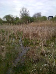 Favoured Snipe habitat at Thames Road Wetland. (Photo: Chris Rose)