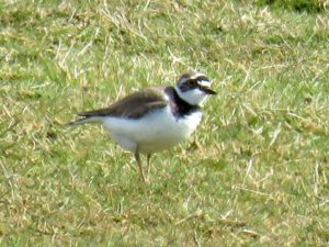 Little Ringed Plover at Crossness, its only breeding site in Bexley. Note dark bill and clear yellow eye-ring. (Photo: Donna Zimmer)