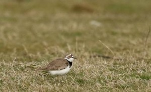 Little Ringed Plover on the west paddock. This species is at risk of beinglost from Bexley as a breeding species if Cory's plans to build on the Borax fields is approved by Bexley Council. (Photo: Ian Jackson)