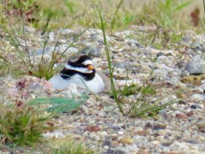 High power zoomed picture of Ringed Plover on its nest, taken from a safe distance outside the fence line. Note yellow bill with black tip. (Photo: Donna Zimmer)