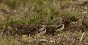 Wheatears have also dropped in at Crossness. (Photo: Ian Jackson)