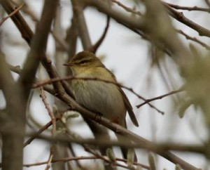 Willow Warbler, an early migrant arrival at Crossness this year. (Photo: Ian Jackson)