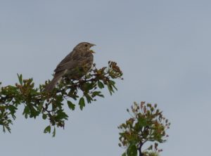 Corn Bunting (in the Pyrenees) (Photo by Ralph Todd)
