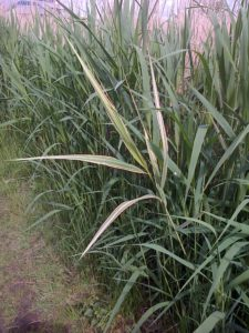 Variegated Common Reed (Phragmites australis) shoot at Crossness. There is already a variegated form in cultivation, so we won't be making a fortune out of this ..... (Photo: Chris Rose)