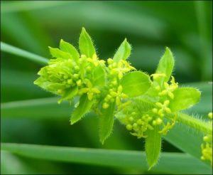 Close-up of Crosswort flowers,  Upper College Farm, 26/5/16 (Photo: Mike Robinson)