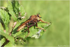 Hornet Robber Fly at Thames Road Wetland, 6th August 2016 (Photo: Jason Steel)