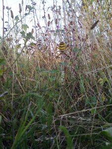 Wasp Spider at Thames Road Wetland (Photo: Chris Rose)