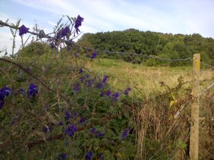 A colourful Vetch drapes the footpath fence, looking back to the edge of Churchfield wood. (Chris Rose)