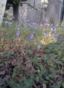 Harebell in St. Mary's churchyard, Old Bexley (Chris Rose)