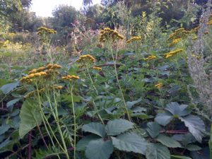 Tansy, an occasional plant in Bexley, flourishes on Mill Meadow by the footpath to the south side of Bexley station. It is in the daisy family and has slightly domed clusters of bright yellow flowers that lack ray florets ('petals') . (Chris Rose)