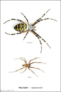 Comparison of male and female wasp Spiders from Thames Road Wetland (Jason Steel)