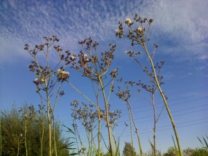 Seeding Marsh Sow-thistles at Thames Road Wetland (Photo: Chris Rose)