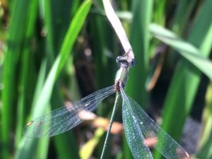 The first ever Willow Emerald damselfly recorded in Bexley (Photo: Ian Stewart)