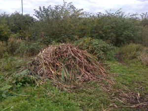 Reedmace piles at Thames Road Wetland are used by a variety of species such as Snakes, Woodlice, Spiders and no doubt various fungi. (Photo: Chris Rose)