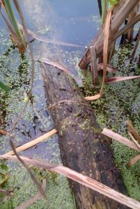 Thesedroppings on a half-submerged log indicate recent Water Vole presence. (Photo: Chris Rose)