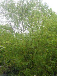 Salix x erhartiana in Bexley Park Woods (Rodney Burton).