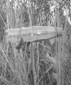 Harvest Mouse climbing up to feeding bottle at dusk on 17th November 2016. Camera trap in night-time mode.